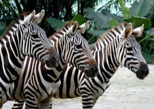Про зебр